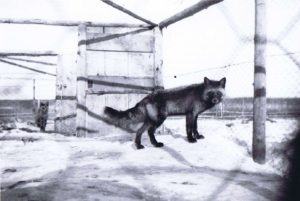 A fox in its pen, Lac La Biche