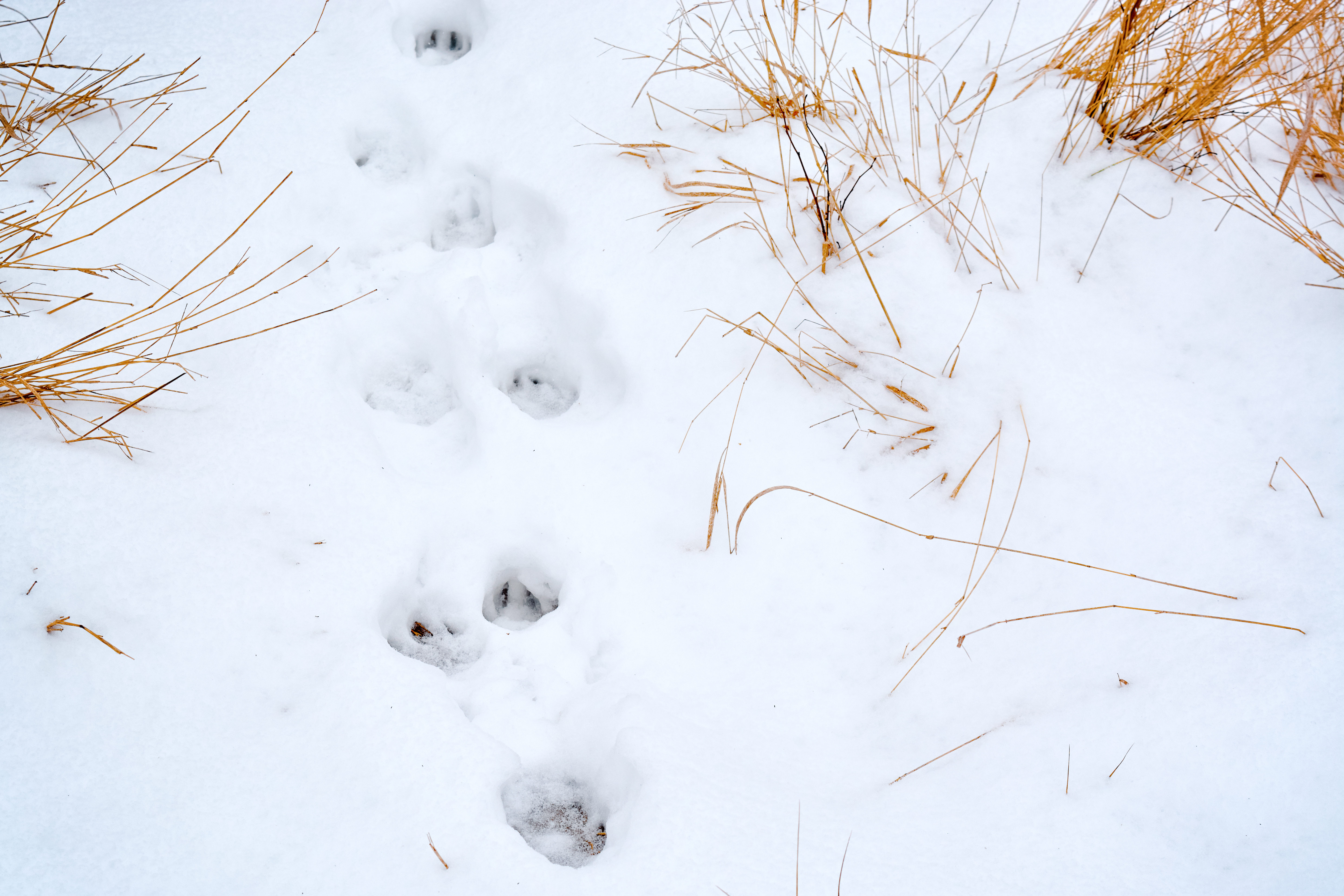 Here in the Boreal Forest we are surrounded by animals. They can be difficult to see, but luckily there are other ways to find out that they were there. Animal tracks are easy to see in the snow. Take a walk this winter and see how many animals you can identify.